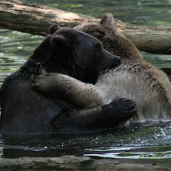 Knuffelende beren