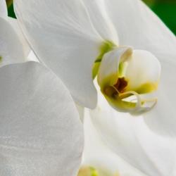Orchidee (05)