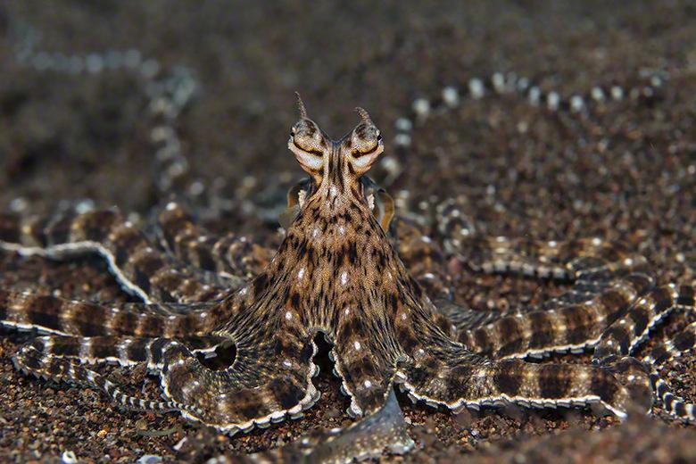 Mimic Octopus - Mimic Octopus (20cm).<br /> Deze kleine Octopus is een meester in het aanpassen via verandering in kleuren en vormen.. Van bolvormen