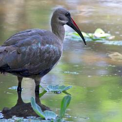Hadada-ibis (Zuid Afrika)