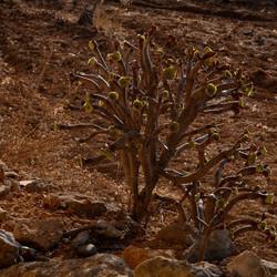 Soort vetplant