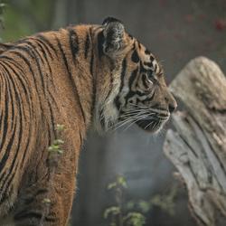 Sumatraanse tijgervrouwtje ..