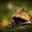 oranje hoornkikker