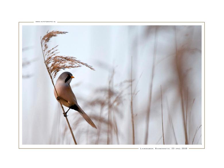 Baardman, Lauwersmeer - Het vrouwtje van de baardman (Lengte 14 tot 15,5 cm) is minder opvallend gekleurd dan het mannetje, maar is toch goed herkenba