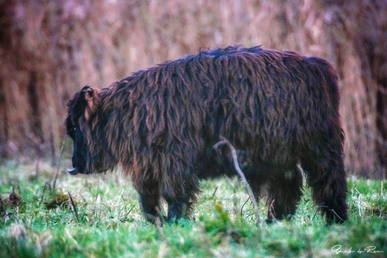 Schotse Hooglander kalf - 02/12/2019