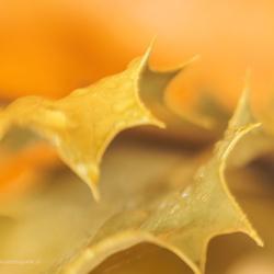 Scharp leaf . . .