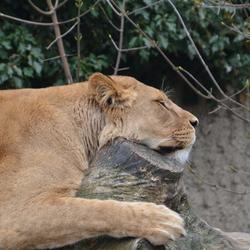 Slapende Vrouwtjes Leeuw