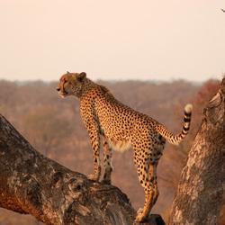 Cheetah - Kruger NP