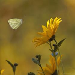 Een Geaderd witje in vlucht