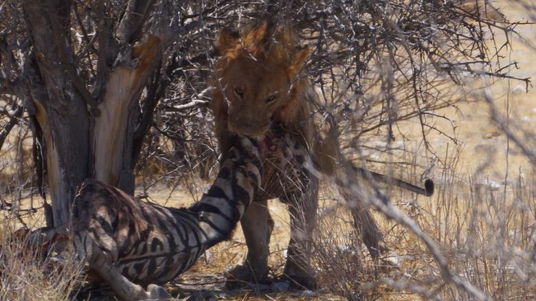 Leeuw, Zebra -