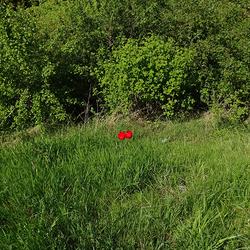 Verdwaalde tulpen