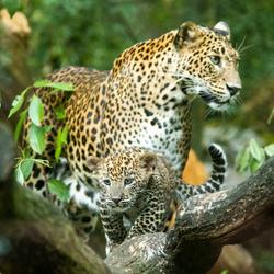 Sri Lanks panter (deel 2)