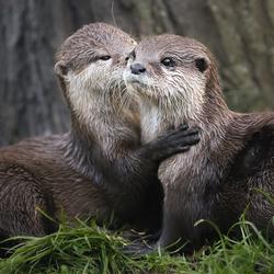 Twee lieve otters