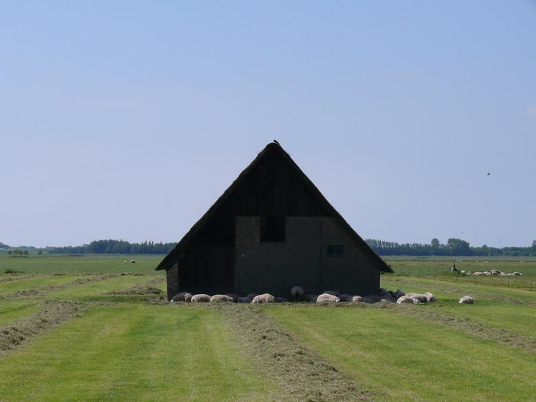 Schapen Boet in de lentezon - Op het waddeneiland Texel duidt de benaming vooral een kleine schuur aan die diende als opslag voor hooi en ander voer v