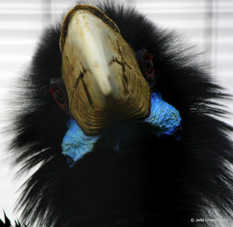 Wut? - Geweldig coole bijdehante neushoornvogel in avifauna