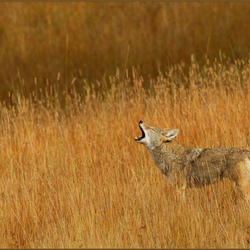 Lonely Coyote Call