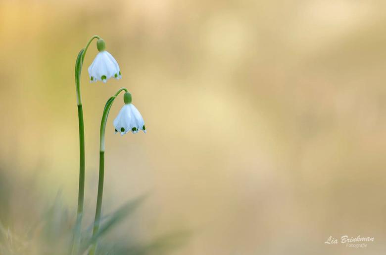 lente klokjes - Lente klokjes van twee weken geleden, toen leek het lente en vandaag lijkt het wel weer herfst.<br /> <br /> Groetjes lia