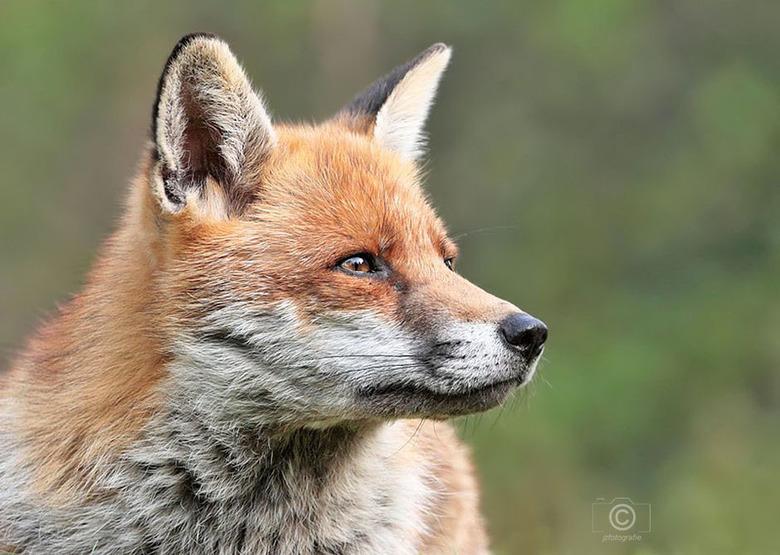 Aandachtige blik - Van deze vos heb ik een tijdje  geleden een aantal opnames kunnen maken, <br /> dit is de eerste die ik graag met jullie wil delen