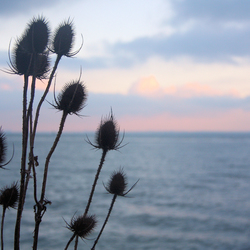 Thistles by the sea
