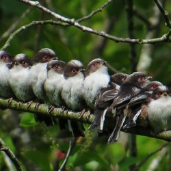 vogel staartmees aegithalos caudatus 1
