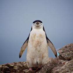 Antarctica - Chinstrap penguin