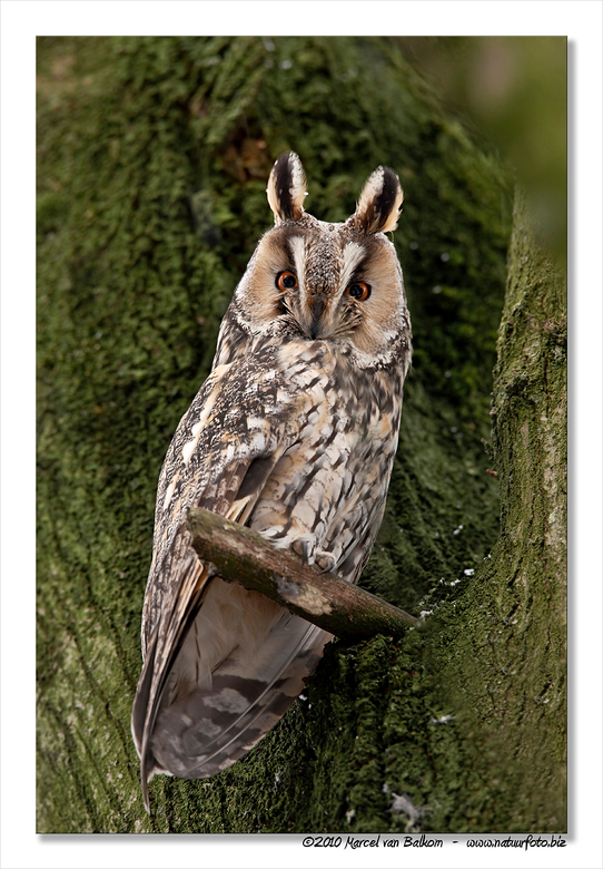 Ransuil - Deze Ransuil afgelopen maandag kunnen fotograferen tijdens een dagje Biesbosch en omstreken. Hij zat lekker in zijn roestboom te genieten va