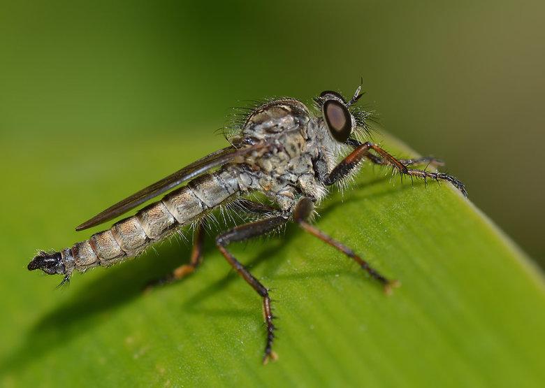 Machimus Atricapilus (Gewone Roofvlieg) -