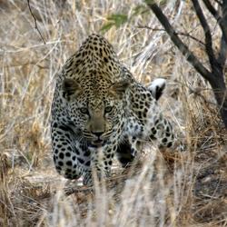 Luipaard in Namibie