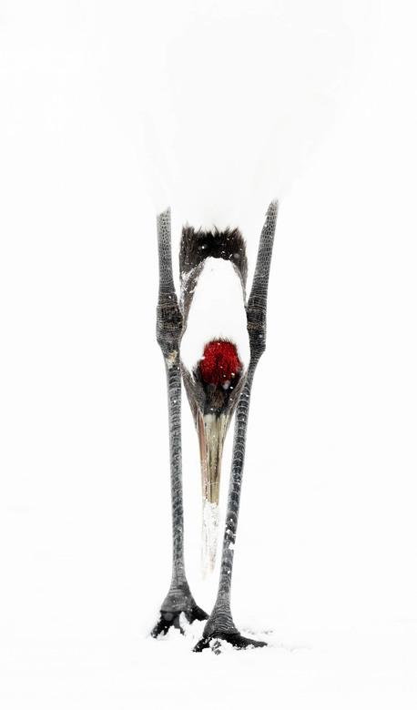 Hit a high key note - Soms heb je een foto die zich leent voor iets artistieks zoals ook deze Japanse kraanvogel. Bukkend in de sneeuw gaf een mooi ef