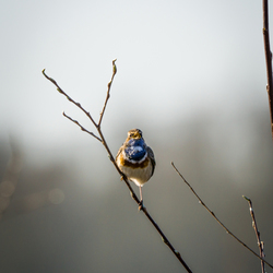 Blauwborst zingt zijn lied