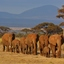 Olifanten in Amboseli, Kenia