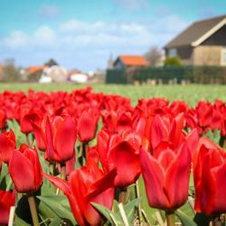 Rode tulpen in de bollenstreek
