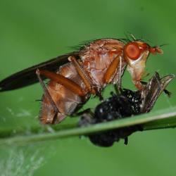 vlieg eet vlieg