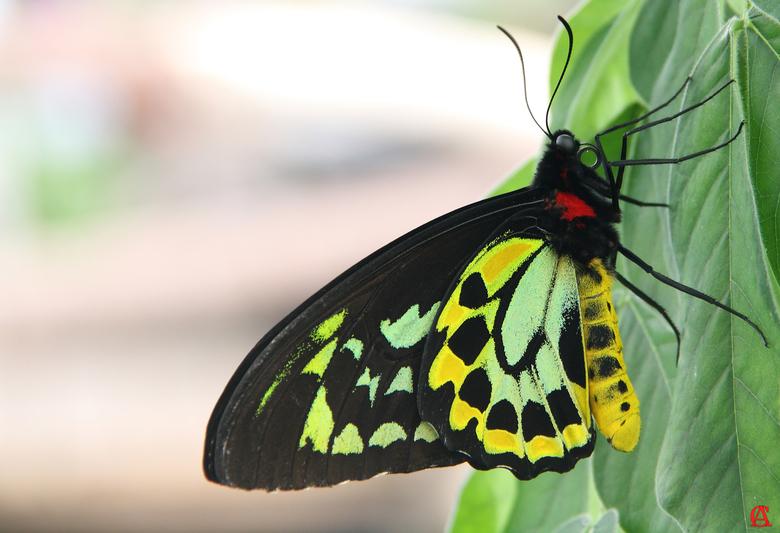 Ornithoptera Priamus - Ornithoptera Priamus oftewel vogelvlinder<br /> behoort tot de grootste dagvlinders <br /> ter wereld,<br /> zij komen voor