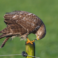 Buizerd, nagel pedicure