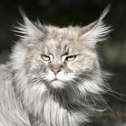 lynx in spé