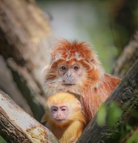 Langoer aapje met een jong - Javaanse Langoer Aapje met een Oranje  jong.<br /> Leefgebied: regenwoud Indonesia<br /> Voedsel: bladeren,fruit, bloem