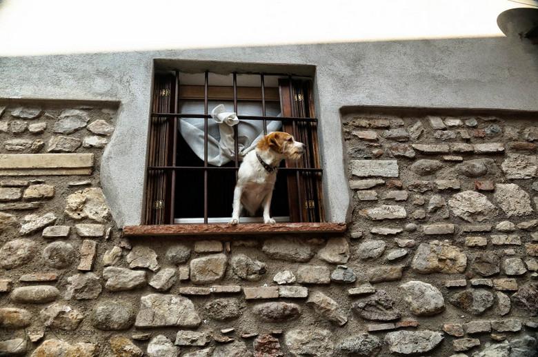 Waakhond op de uitkijk - Deze Italiaanse Jack Russel staat op de uitkijk.