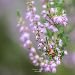 Oogvleklieveheersbeestje tussen de bloeiende heide