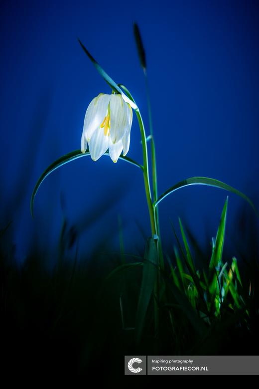 De Zwolse tulp - De eerste van het jaar weer weten vast te leggen. Bijzonder mooi bloemetje die zeldzaam is in het wild. Strobist techniek gebruikt.
