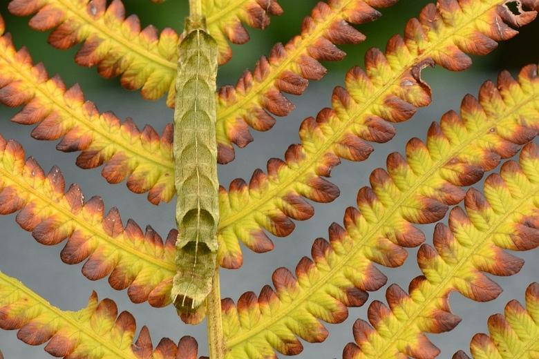 Rups van de _Perzikkruiduil  (vlinder)Melanchra persicariae Linnaeus, 1761  II BEV_2927 - Geweldig stukje camouflage in de natuur , .... de rups  van
