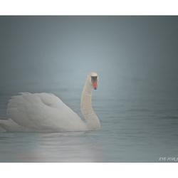 Zwaan in de mist...