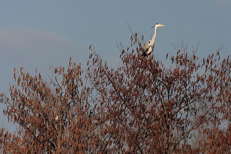Blauwe reiger in boom - Een blauwe reiger boven in de boom in de -kleine- reigerkolonie bij Westervoort (en nog een tweede reiger maar die laat zich w