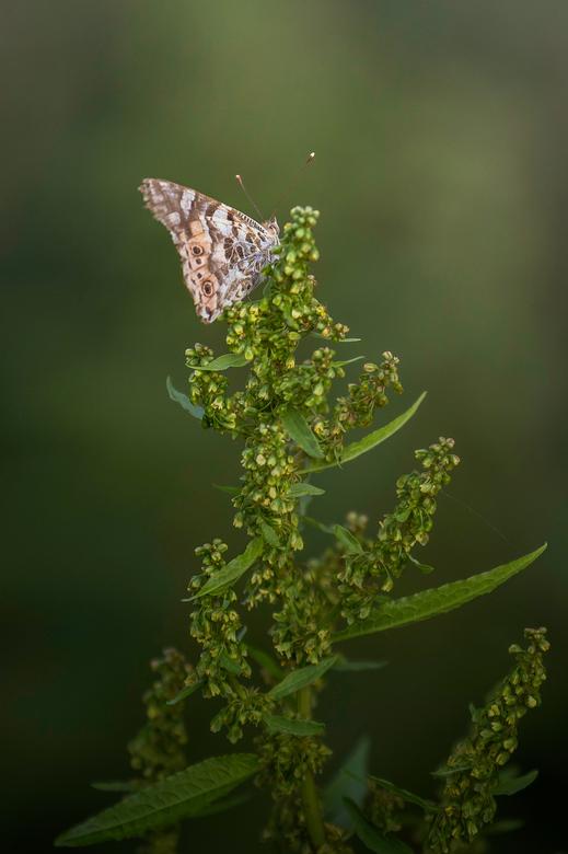 vlinder - Mijn tuin grenst aan een groot poldergebied, vaak komen er dan ook speciale en leuke bezoekers over de vloer.