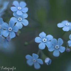 Kaukasisch vergeet-mij-nietje of balkanvergeet-mij-nietje (Brunnera macrophylla)