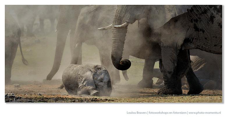 Afrika - Olifanten zijn zeer sociaal, zorgzaam en als een kleine als deze ligt te rollen in het stof, zijn er altijd tantes die in de buurt zijn.