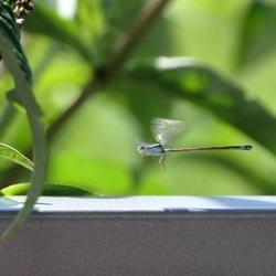 Vliegende libelle