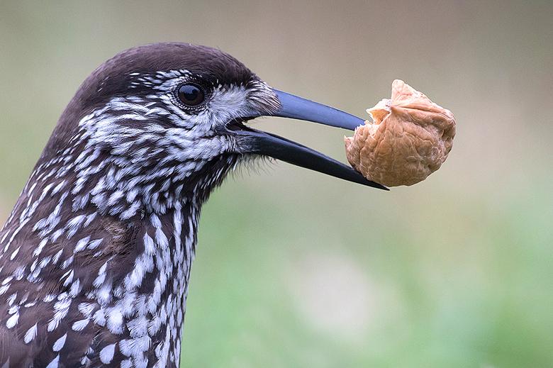 Notenkraker - Vorig weekend samen met vele andere fotografen genoten van deze prachtige vogel, die totaal niet schuw was.<br /> <br /> Iedereen een