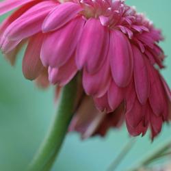 Knallend roze