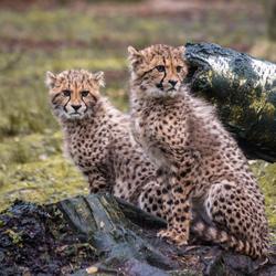 Cheetah kids